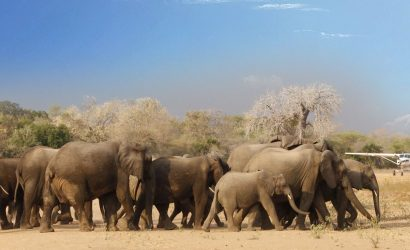 Elephants Selous