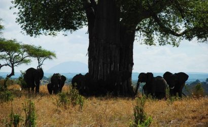 Elephants in Tarangire National Park