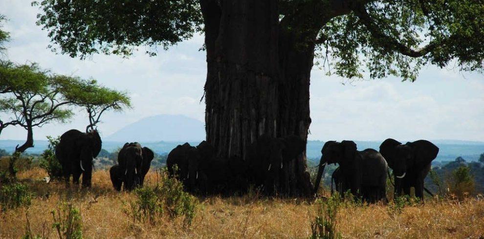 Elephants in Tarangire National Park