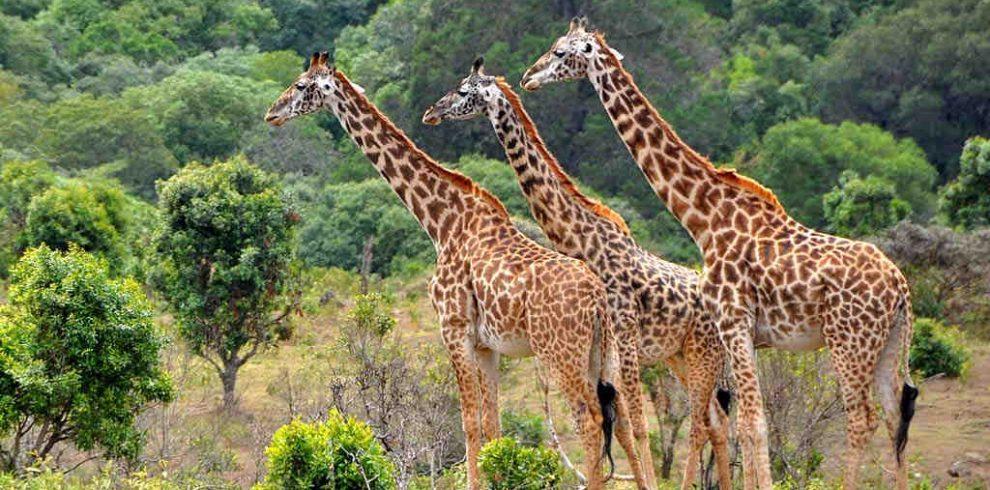 Giraffe in Lake Manyara