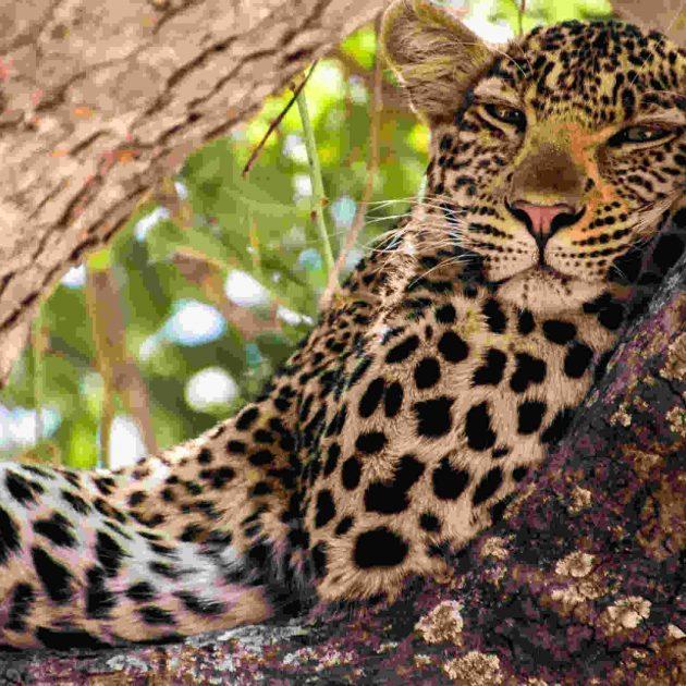 Leopard Ruaha National Park