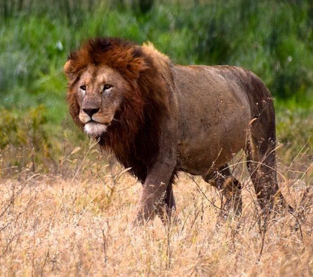 Lion Serengeti National Park