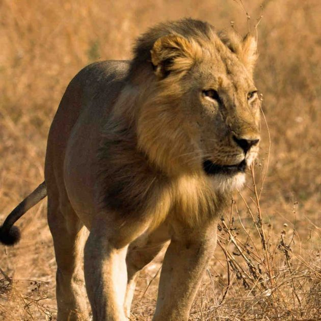 Lion in Selous Game Reserve