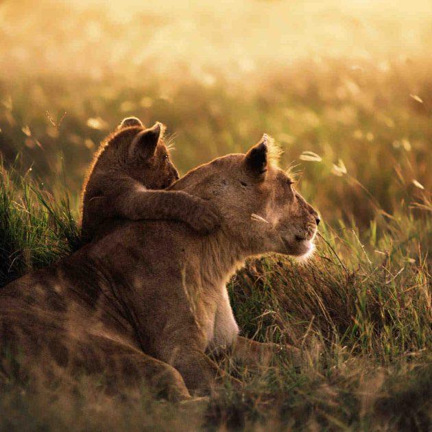 Mikumi National Park Lionesses