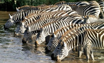 Mikumi-National-Park-Zebras