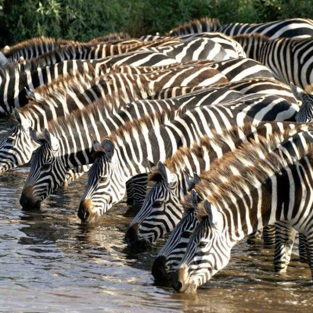 Mikumi-National-Park-Zebras