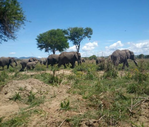 Elephants in Mikumi