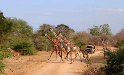 Giraffe in Selous Game Reserve
