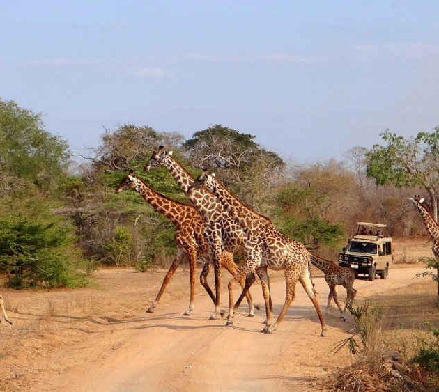Giraffe in Selous Game Reserve