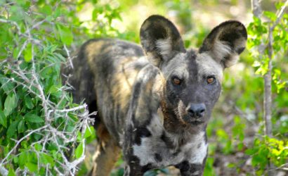 Selous Wild Dog