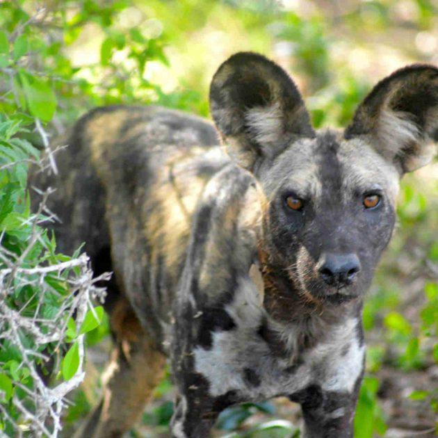 Selous Wild Dog