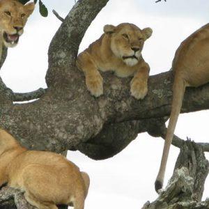Tree Climbing Lions in Lake Manyara National Park