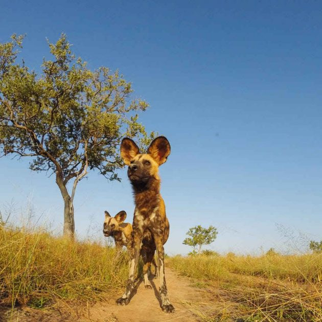Wild dogs Selous Game Reserve