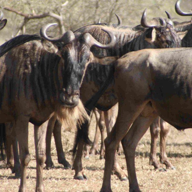 Wildebeest Serengeti