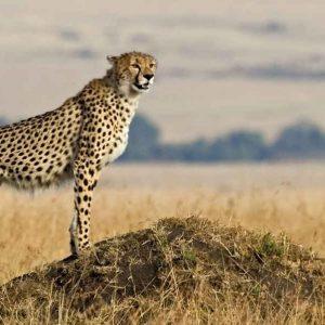Cheetah Serengeti National Park