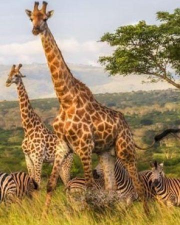 Tanzania Safaris