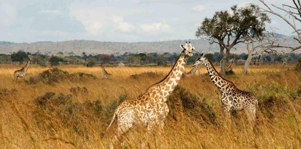 Mikumi Giraffe