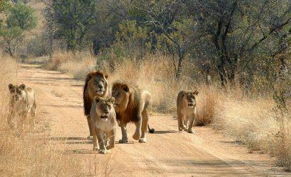 Mikumi Lions