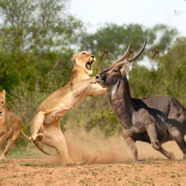 Masai Mara National Park lion