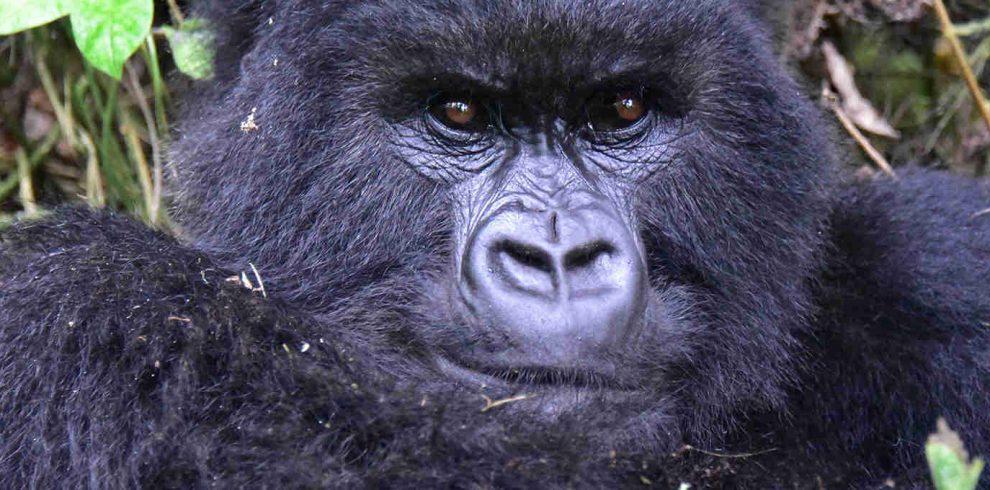 3 days Rwanda Gorilla Trek - Volcanoes Mountains National Park1