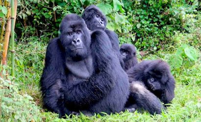 4 Days Rwanda Gorilla Trek - Volcanoes Mountains National Park2