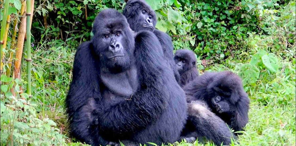 4 Days Rwanda Gorilla Trek - Volcanoes Mountains National Park2