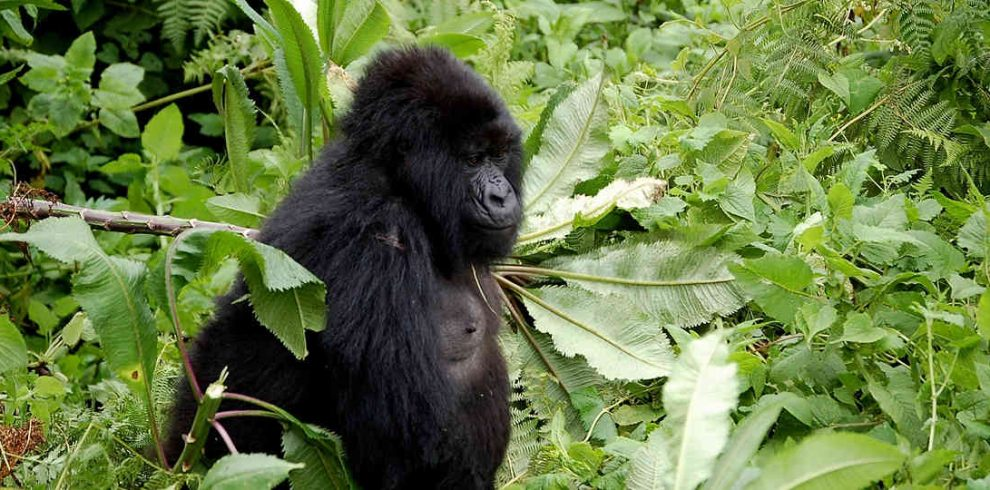 4 Days Rwanda Gorilla Trek - Volcanoes Mountains National Park