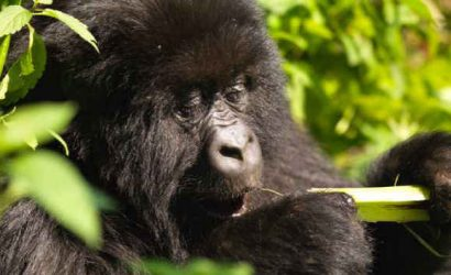 Rwanda Gorilla Trek - Volcanoes Mountains National Park